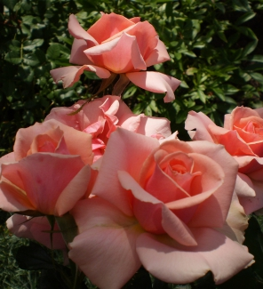 Роза флорибунда Поэзия