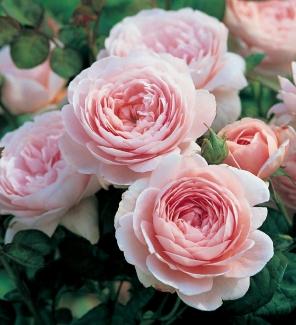 Роза английская Куин оф Свиден
