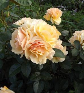Роза флорибунда Хансештадт Росток