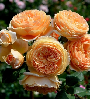 Роза английская Краун Принцесс Маргарит