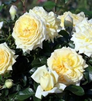 Роза почвопокровная Надя Мейдиланд
