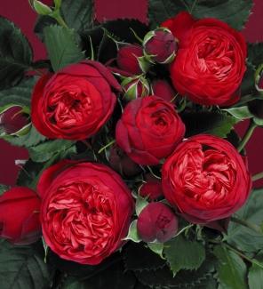 Роза чайно-гибридная Пиано
