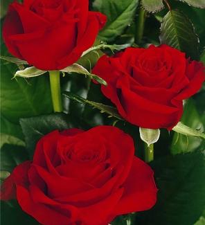 Роза чайно-гибридная Престиж