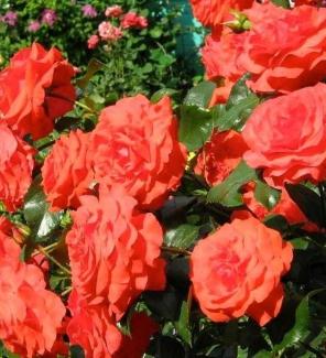 Роза плетистая Салита