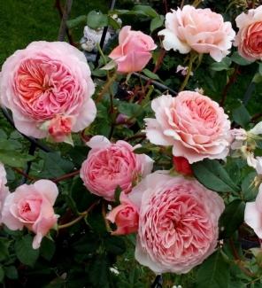 Роза английская Уильям Моррис
