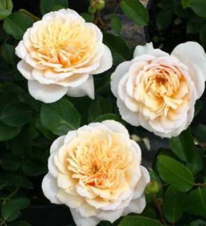 Роза английская Инглиш Гарден