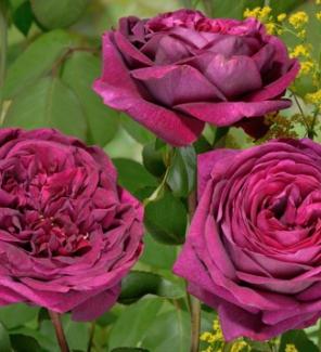 Роза английская Принц