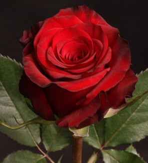 Роза чайно-гибридная Ред Париж