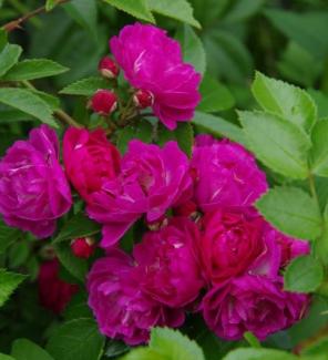Роза плетистая Перенниал Блю