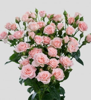 Роза спрей Классик Лидия