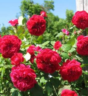 Роза канадская Квадра