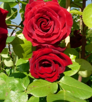 Роза плетистая Мессир Дельбар