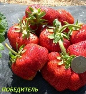 Роза спрей Вивиана