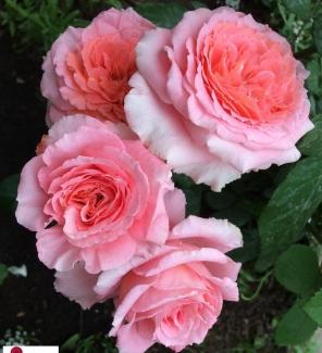 Роза чайно-гибридная Замок Шенонсо