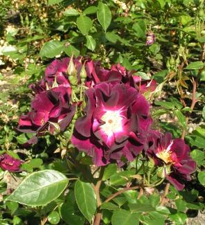 Роза плетистая Очи Совы