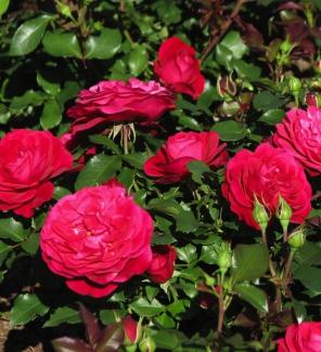 Роза флорибунда Мона Лиза
