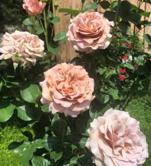 Роза плетистая Дортмунд