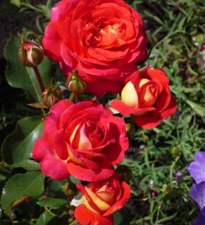 Роза флорибунда Мидсаммер