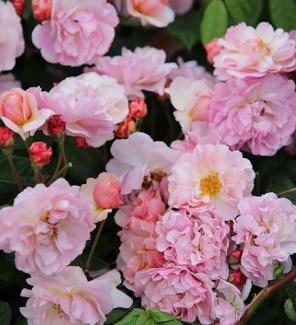 Роза мускусная Корнелия