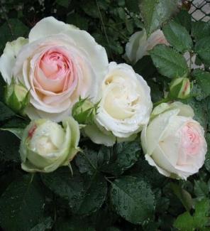 Роза плетистая Пале Рояль