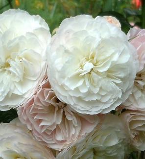 Роза мускусная Букет Парфе