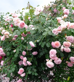 Роза английская  Джеймс Галвей