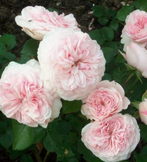 Роза флорибунда Мария Терезия