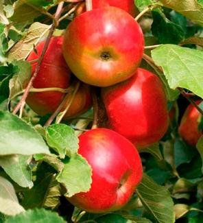 Яблоня колоновидная Останкино, 4-х летка