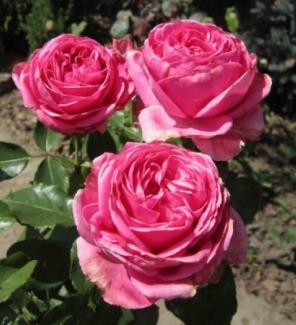 Роза чайно-гибридная Аугуст Ренуар