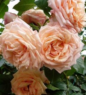 Роза плетистая Барок