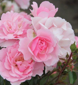 Роза флорибунда Боника 82