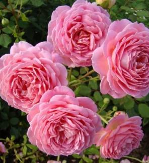 Роза английская Джубилии Селебрейшн