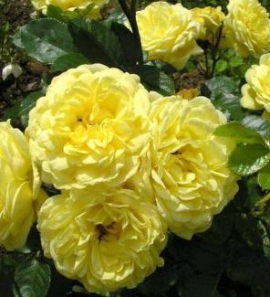 Роза флорибунда Анни Дюпрей