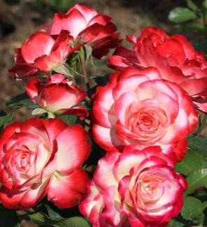 Роза флорибунда Юбилей Санкт-Петербурга