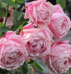 Роза флорибунда Дитер Мюллер