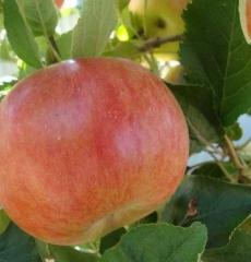 Яблоня зимняя Мартовское