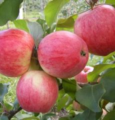 Яблоня летняя Мелба