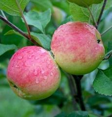 Яблоня летняя Мантет