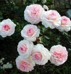 Роза флорибунда Бременские музыканты
