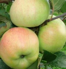 Яблоня зимняя Богатырь