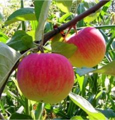 Яблоня летняя Медуница
