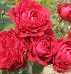 Роза Четырех Ветров