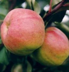 Яблоня осенняя Жигулевское