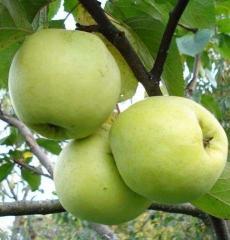 Яблоня зимняя Антоновка