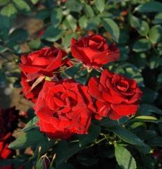 Роза флорибунда Никколо Паганини