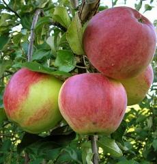 Яблоня зимняя Уэлси