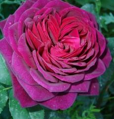 Роза Астрид Графин фон Харденберг