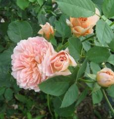 Роза английская Ти Клиппер