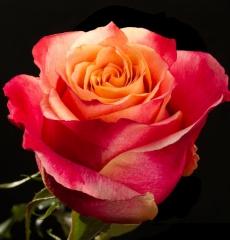 Роза ЗД