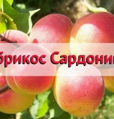 Яблоня осенняя Орлик